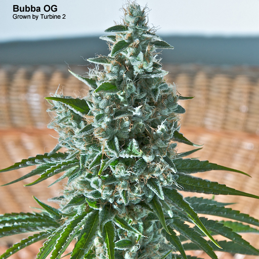 Bubba OG Kush Grown by Turbine 2