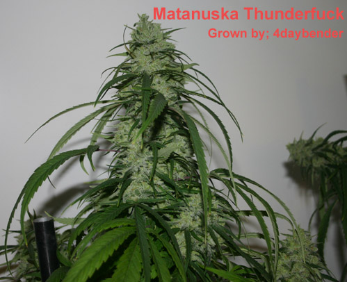 Matanuska Thunderfuck Grown by 4daybender